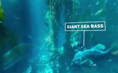 360° Diving Exploration of Kelp Forest Aquarium, BBC Big Blue Live
